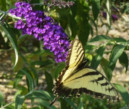 tiger-swallowtail-butterfly.jpg